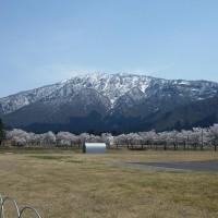 八海山と桜