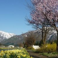 H29春 桜